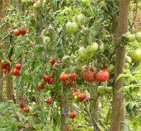 Tomaten, Foto: planart4